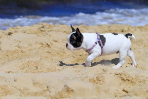 Sommer - Winter - French Bulldog