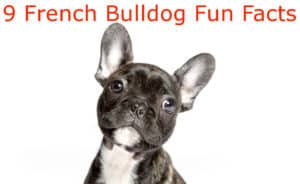 9 fun facts french bulldog