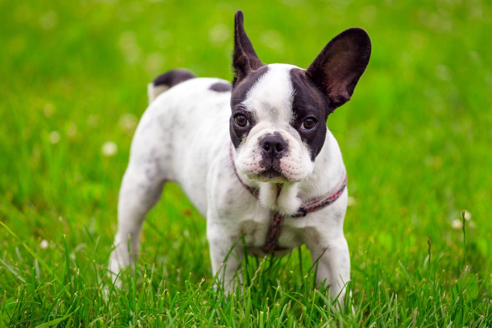French Bulldogge Charakter
