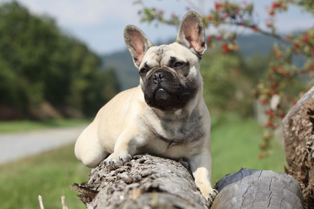 Deckrüde French Bulldog